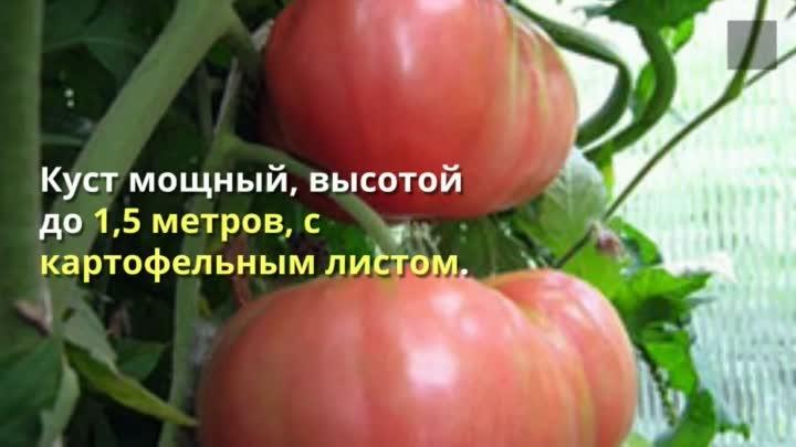 Томат советский - характеристика и описание сорта, фото, урожайность, выращивание, отзывы