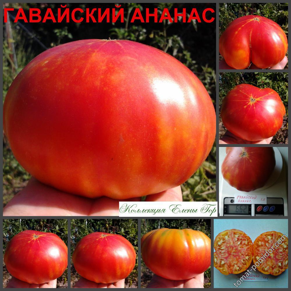 Томат ананас: описание сорта, отзывы, фото, характеристика | tomatland.ru