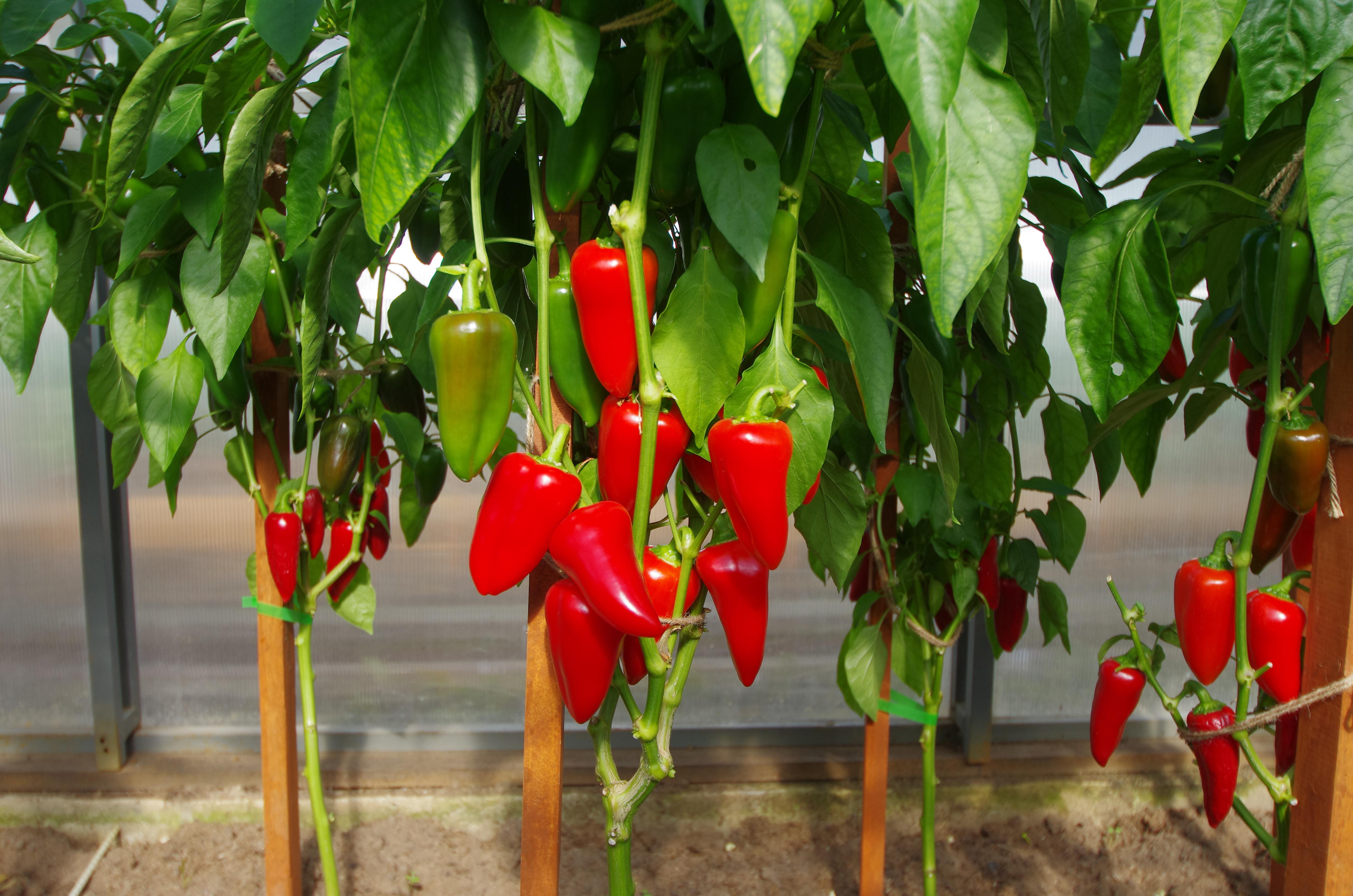 Сорт перца «фламенко»: фото и описание, агротехника выращивания