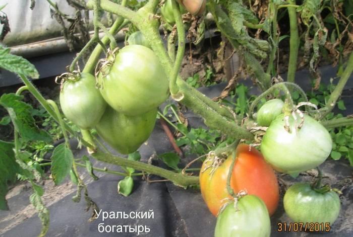 Томат русский богатырь — описание сорта, отзывы, урожайность