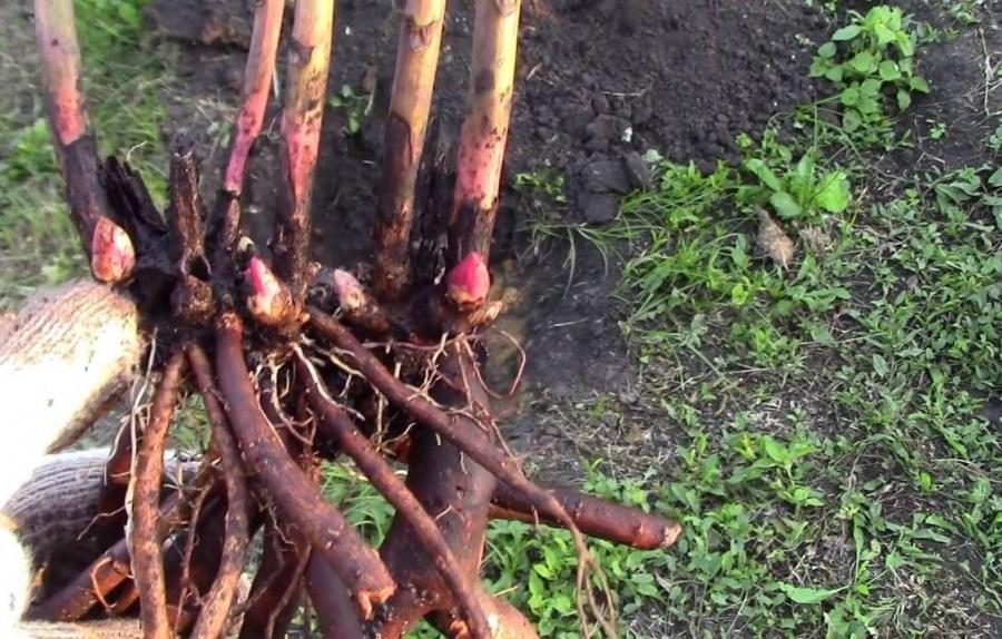Пионы в саду: секреты идеальных сочетаний для цветников