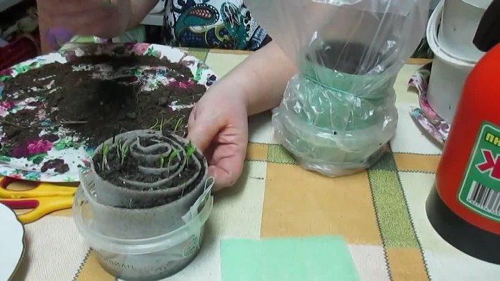 Как правильно посадить и выращивать томаты в улитке на рассаду