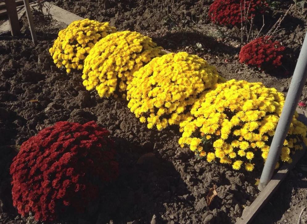 Хризантемы: посадка и уход в открытом грунте, фото, размножение сорта, выращивание и сочетание в ландшафтном дизайне