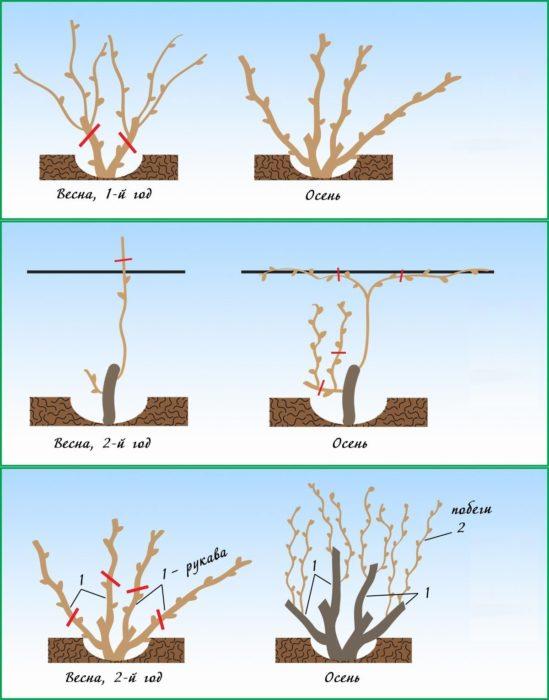 На какой год плодоносит виноград после посадки - как правильно рассчитать время роста виноградника (110 фото)