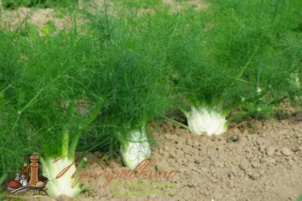Выращивание фенхеля из семян и рассады: как сажать дома и на даче в открытом грунте, какой нужен уход и в чем нюансы агротехники сбора этой овощного растения? русский фермер