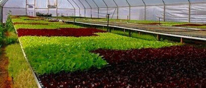 Выращивание в теплице базилика зимой: особенности посадки и какие сорта выбрать?