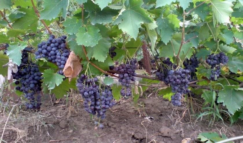 Виноград мускат: 110 фото, описание сорта, особенности выращивания и советы по посадке и сбору урожая