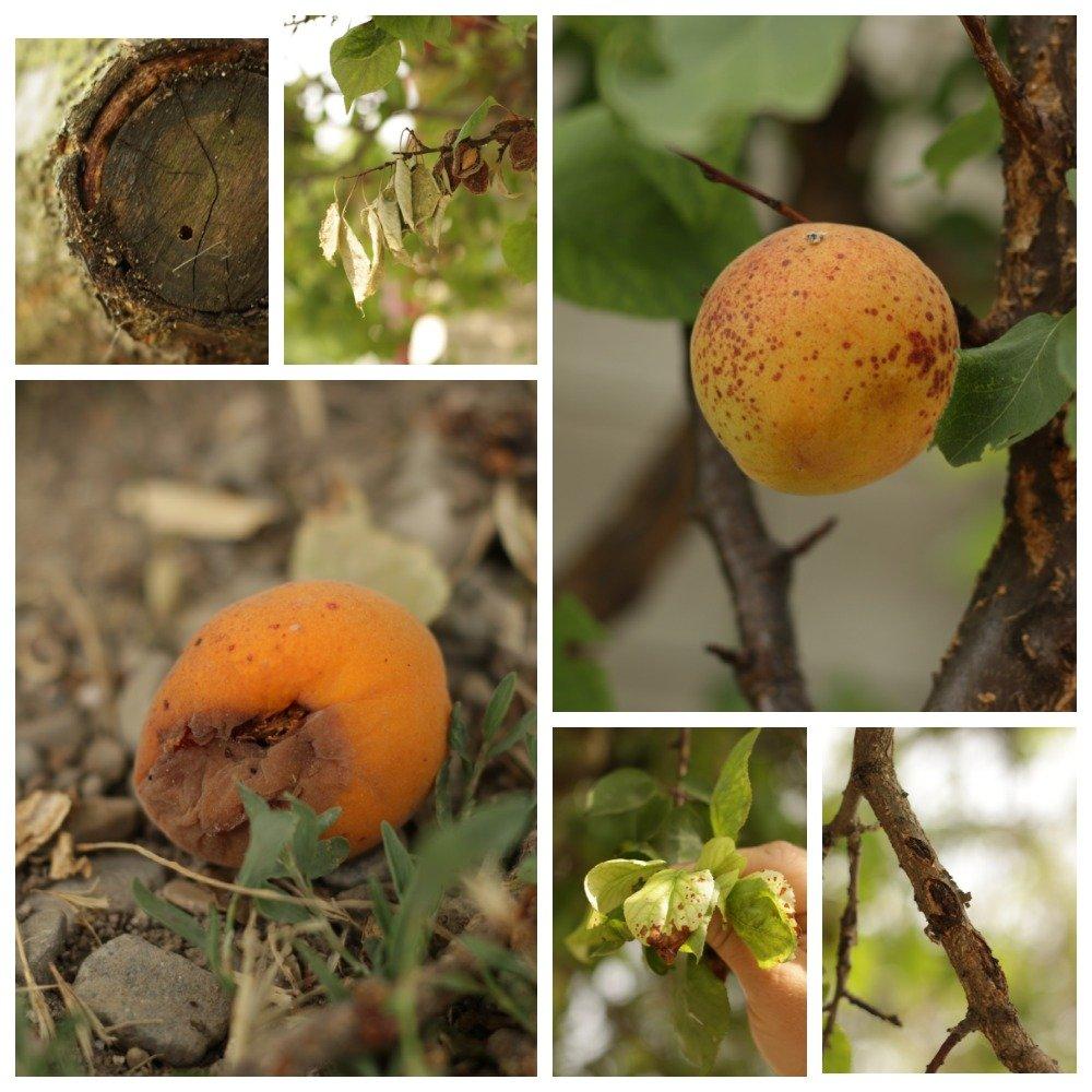 Болезни абрикосовых деревьев и их лечение: правильная борьба с болезнями абрикоса + фото