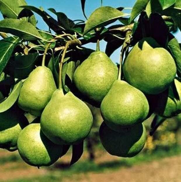 Лучшие советы и рекомендации по выращиванию груши сорта августовская роса