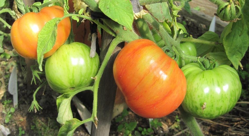 Описание сорта томата винтейдж вайн, его характеристика и урожайность – дачные дела
