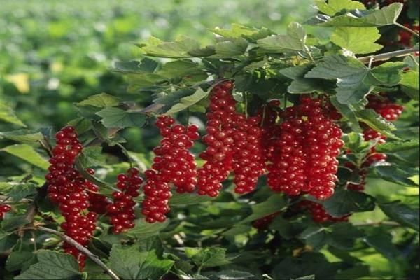 Описание красной смородины сорта ровада: характеристика, правила выращивания и ухода