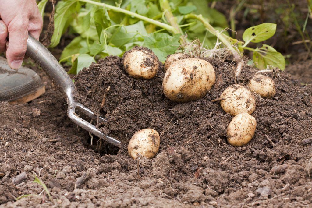 Про картофель «сорокодневку»