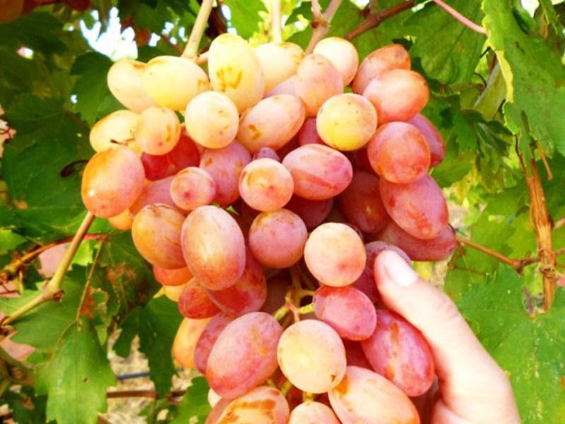 Описание сорта винограда юлиан: фото и отзывы | vinograd-loza