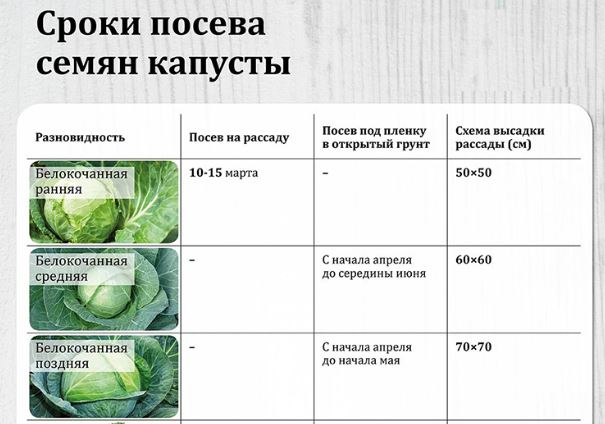 Как сажать цветную капусту: сроки и схема посадки в открытый грунт и на рассаду
