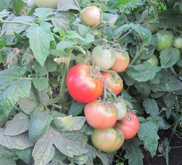 Томат «клуша»: особенности сорта, где растет и как вырастить на своем огороде