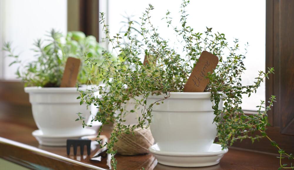 О выращивании тимьяна лимонного в домашних условиях из семян