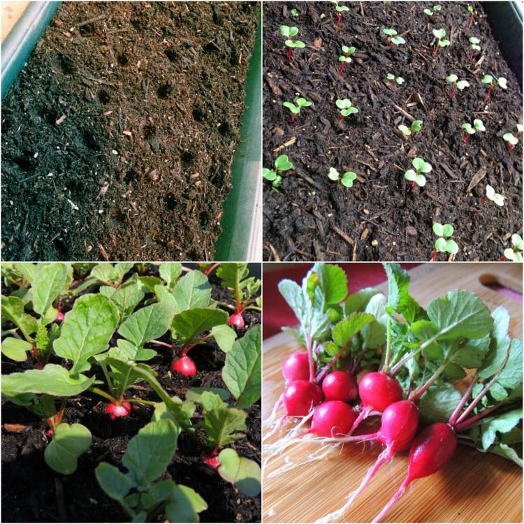 Редиска в теплице из поликарбоната: когда сеять и как выращивать лучшие сорта зимой?