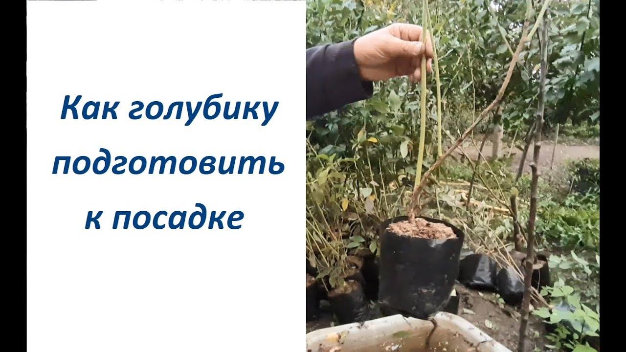 Выращивание голубики из семян в домашних условиях, видео