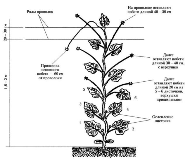 Формирование огурцов в один стебель: схема (в теплице и в открытом грунте), пошаговая инструкция + видео