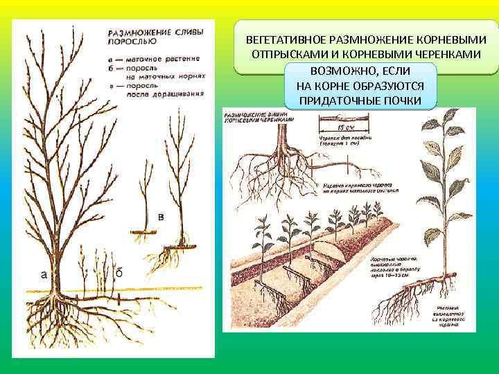 Как размножить сливу черенками и корневой порослью | zelenysad.ru