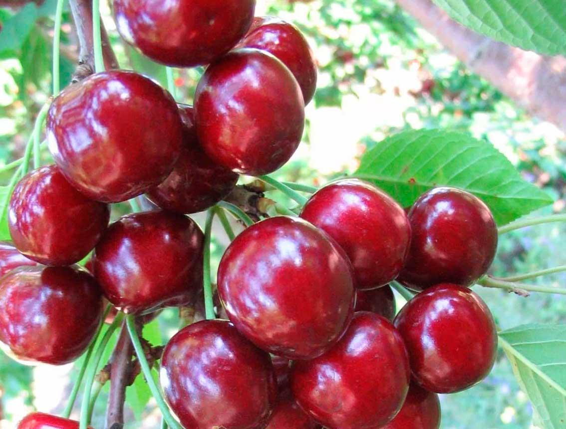 Черешня брянская розовая: отзывы, фото, описание сорта, выращивание, посадка и уход, урожайность, опылители, обрезка, подкормка, вкус