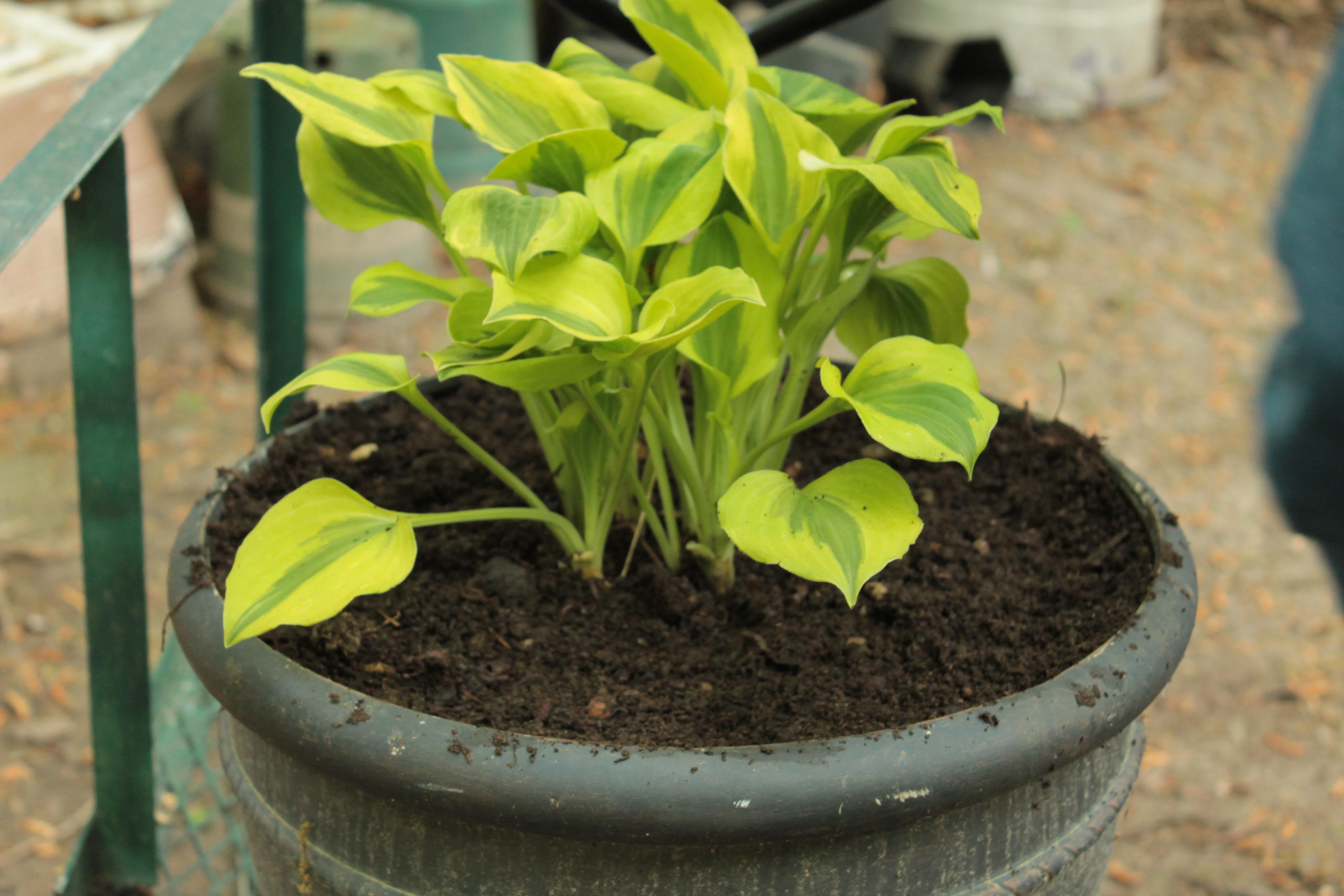 Как правильно посадить хосту в открытый грунт весной: сроки, схемы