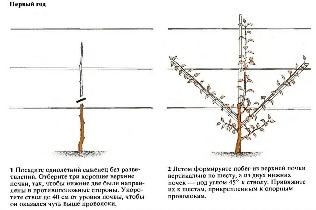 Колоновидная груша: посадка и уход за деревом в саду