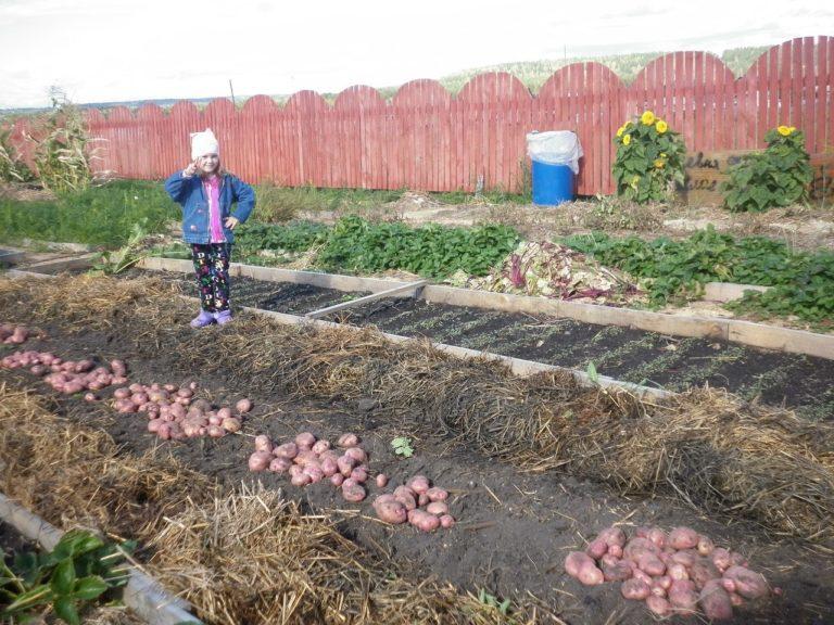 Посадка и уход за картофелем в открытом грунте