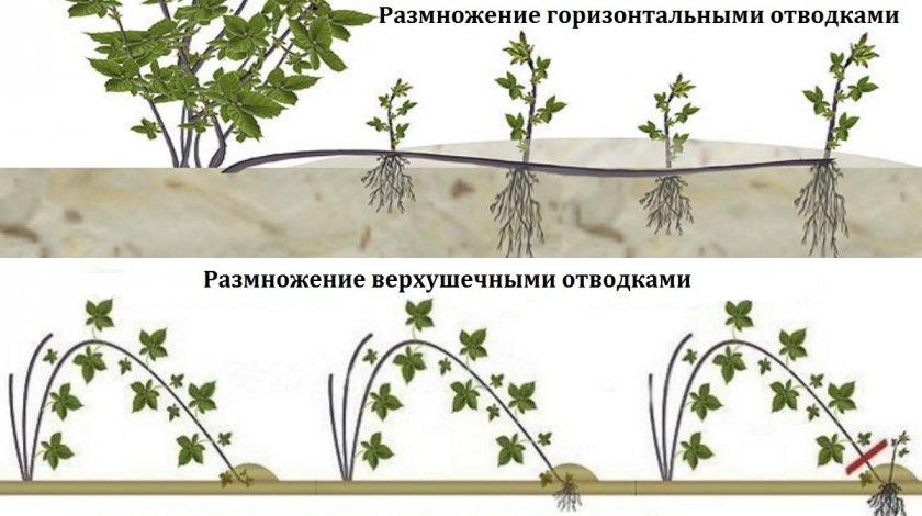 Размножение ежевики: отпрысками, отводками, черенками, семенами
