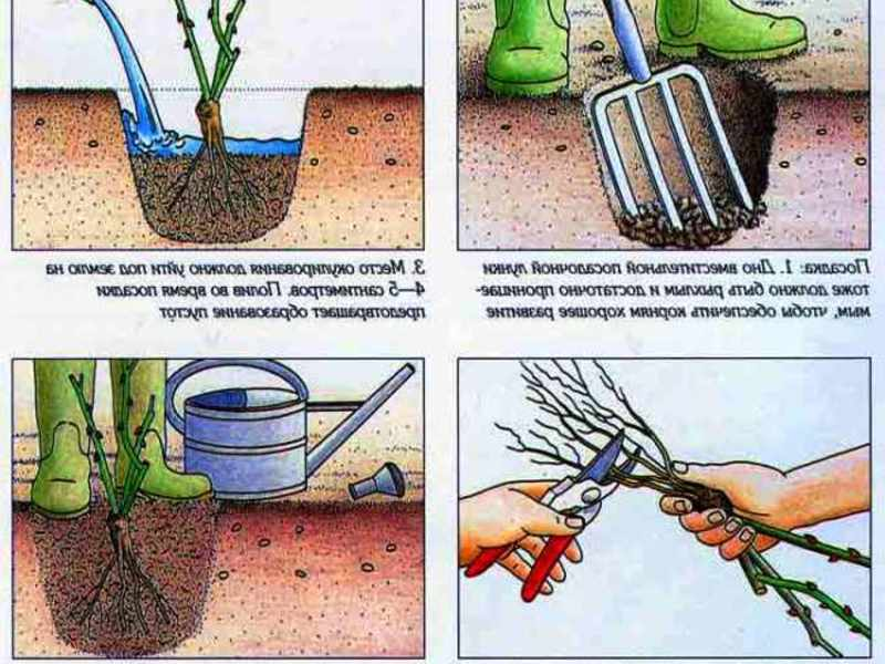 Посадка роз осенью в открытый грунт - когда и как посадить