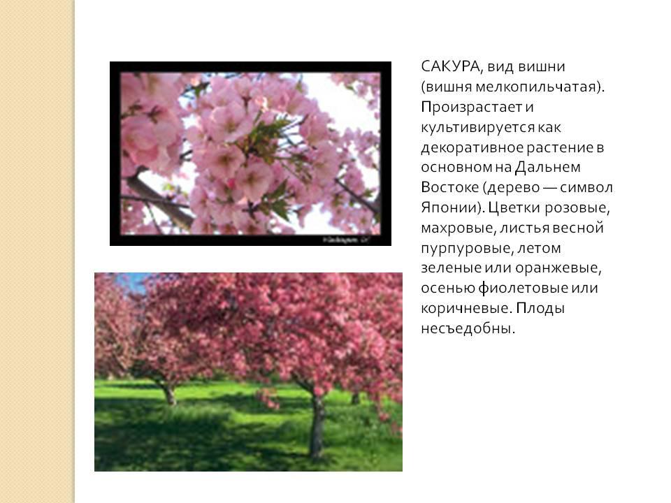 Японская вишня – 5 характерных отличий, виды, посадка и уход
