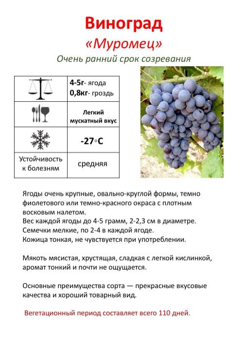 Описание раннеспелого сорта винограда «багровый»