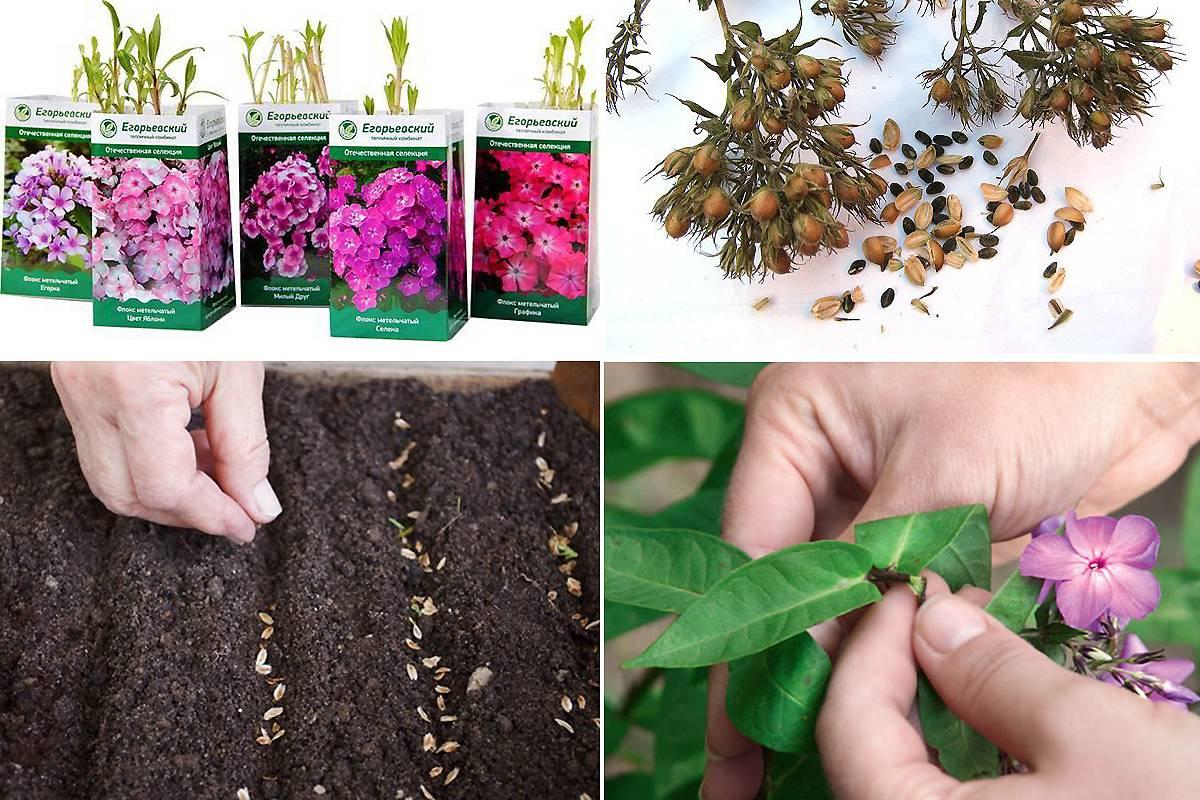 Выращивание флоксов (50 фото): сорта, посадка и уход, размножение, обрезка, болезни и вредители, сочетание с другими растениями
