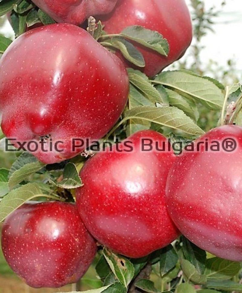 Достоинства яблони ред чиф с красномякотными плодами
