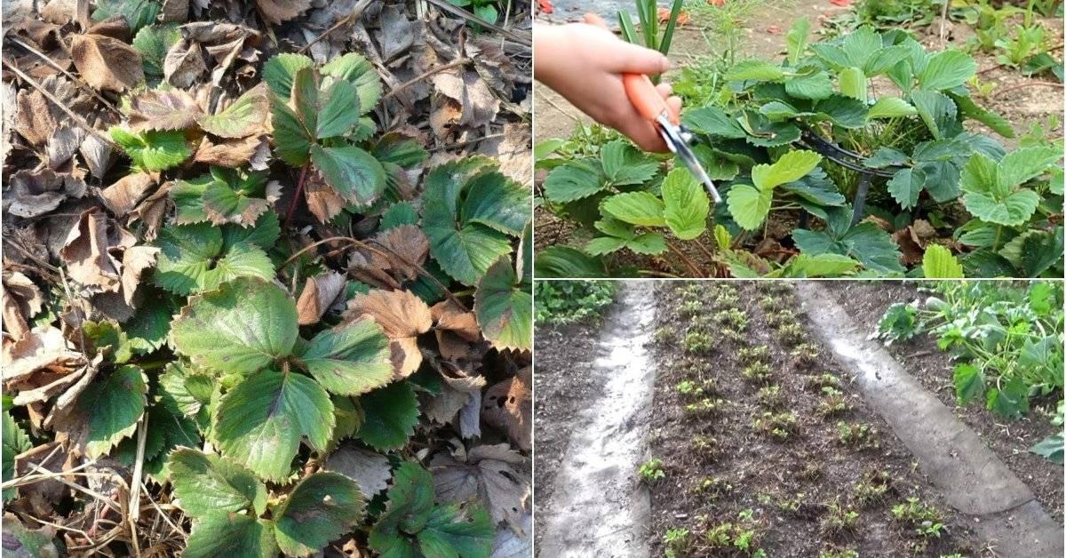 Почему не цветет клубника: советы садоводов что делать при отсутствии цветков на клубнике (95 фото)
