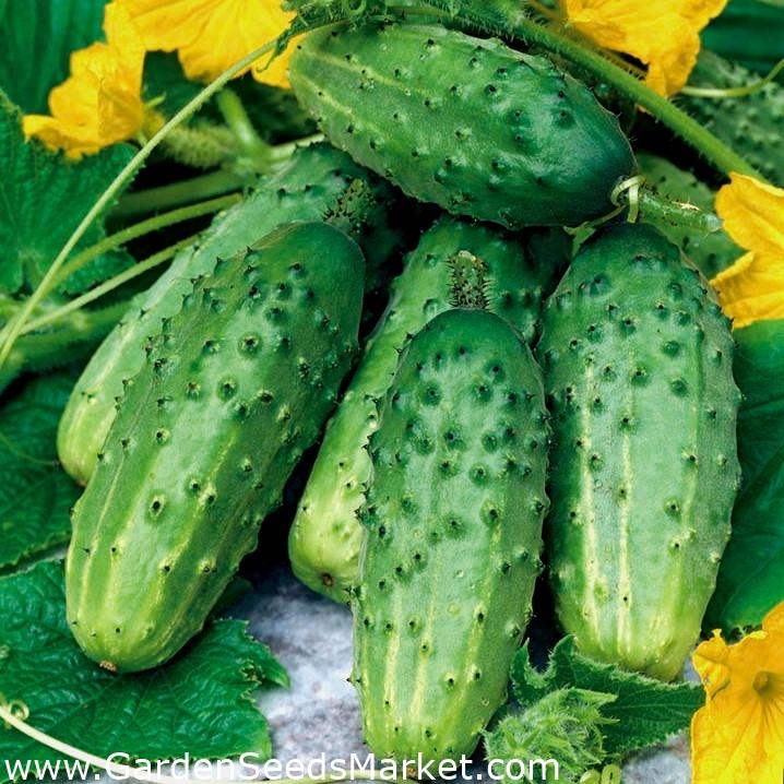 Характеристика и описание гибрида огурца директор f1, выращивание и уход