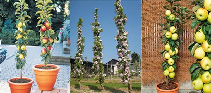Почему не цветет колоновидная яблоня