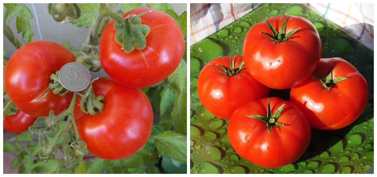 Томат гамаюн отзывы фото урожайность | мой сад и огород
