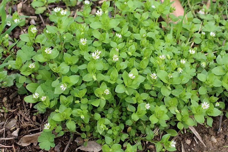 Мокрица (растение) википедия