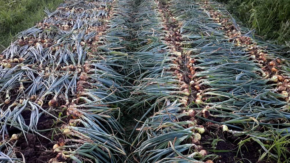 Как правильно сушить лук после уборки: подготовка, тара, оптимальные условия для хранения полезного овоща на зиму