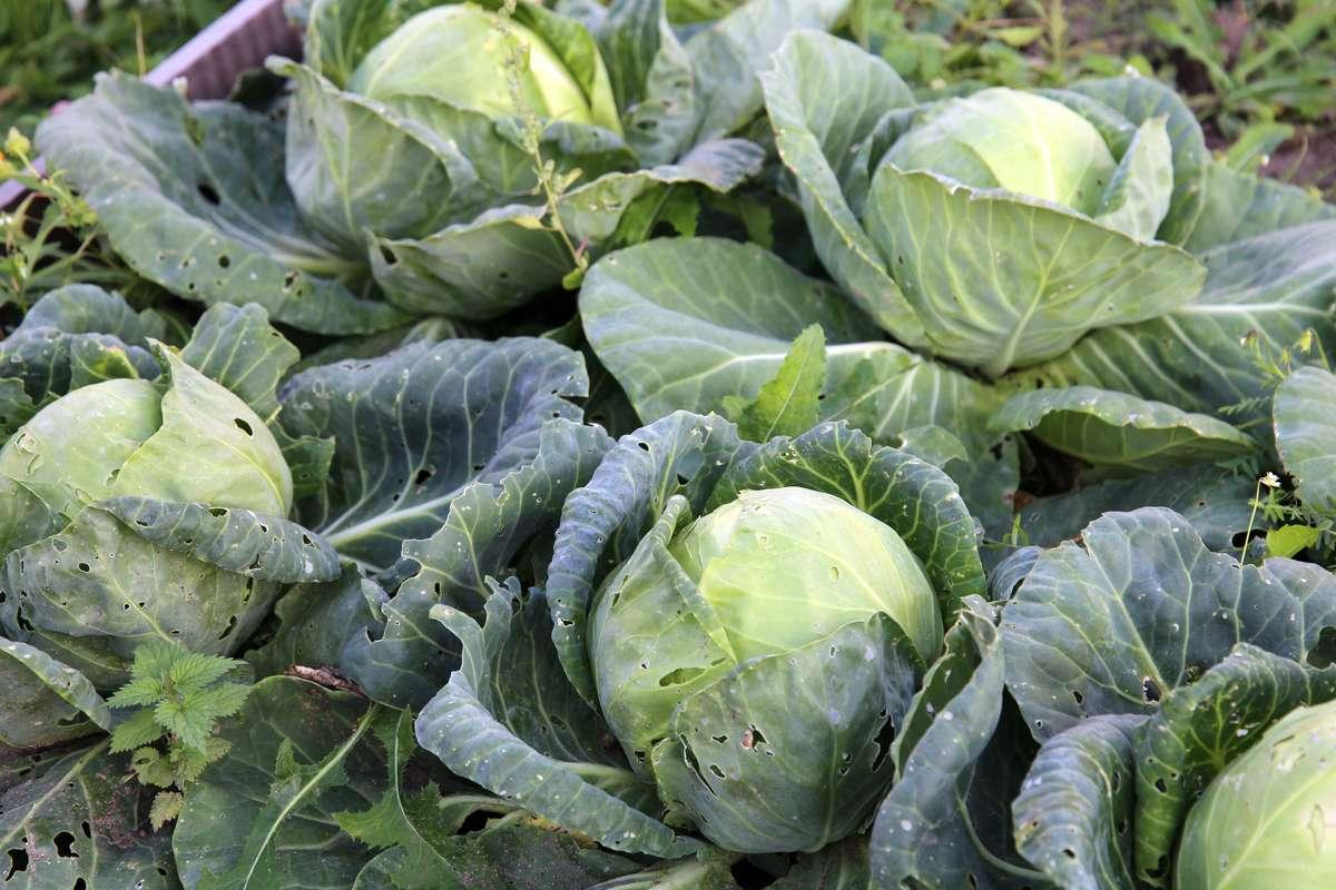 Выращивание капусты, борьба с болезнями и вредителями: 10 вопросов