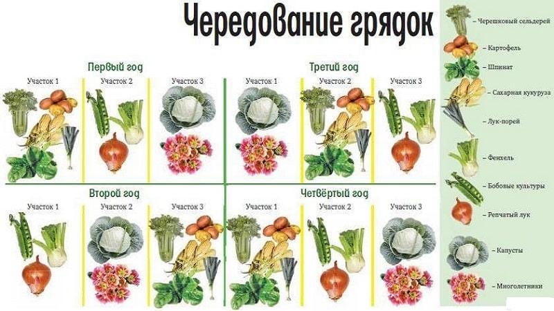 Что можно сажать после капусты на следующий год: таблица, правила чередования культур в севообороте на огороде