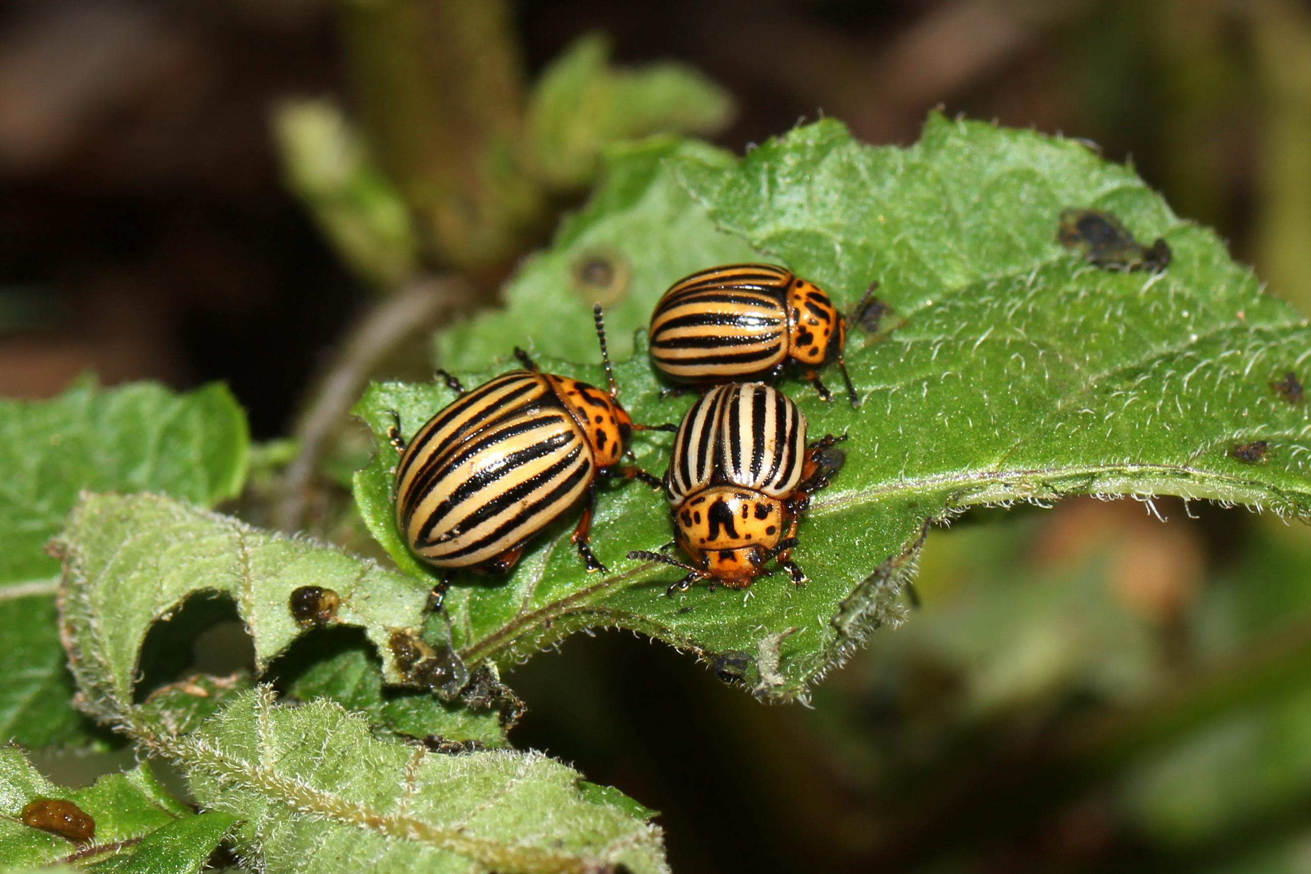 Топ-10 народных средств для борьбы с колорадским жуком