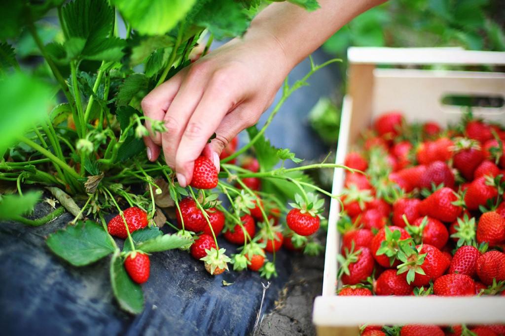Клубника дероял: описание сорта, характеристики плодов, отзывы потребителей