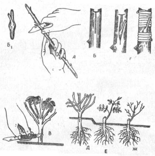 Правила размножения облепихи черенками, отпрысками и семенами в домашних условиях