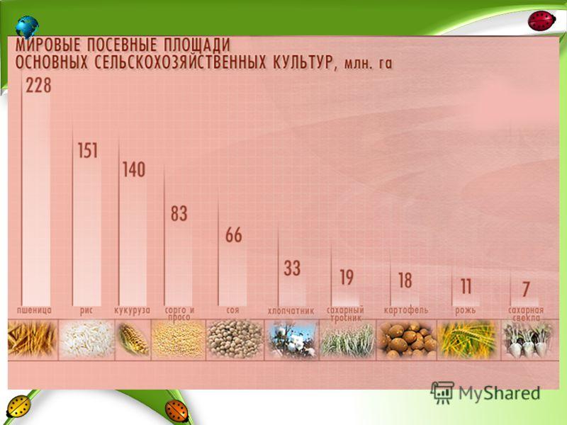 Особенности выращивания кукурузы в сибири