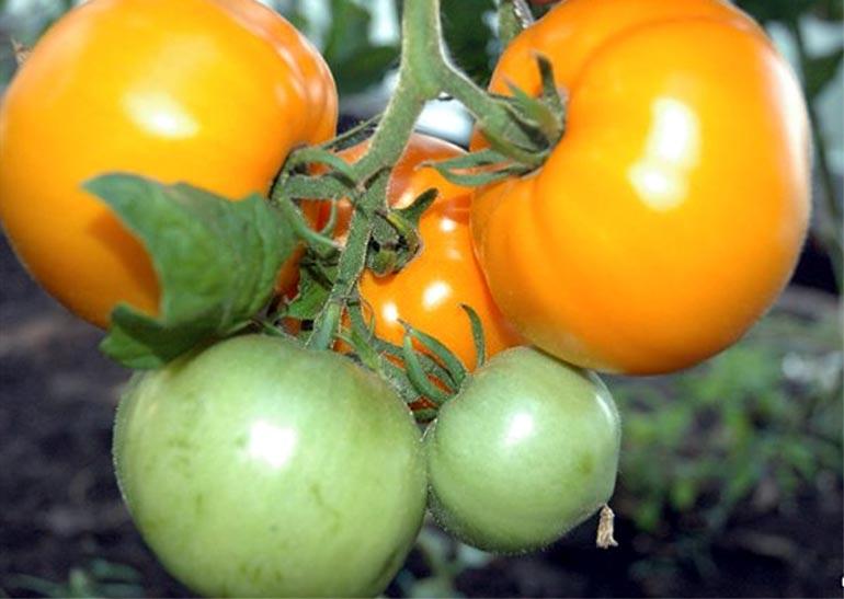 Томат хурма: описание и характеристика сорта, отзывы огородников, достоинства и недостатки