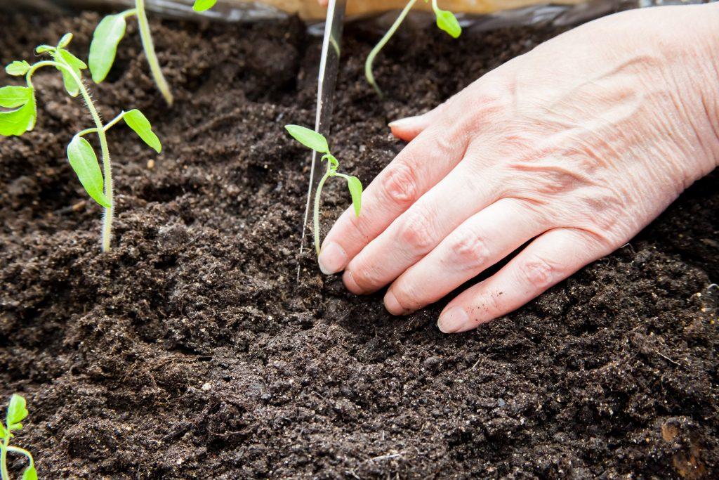 Высадка рассады помидоров в теплице ганичкина | советы садоводу