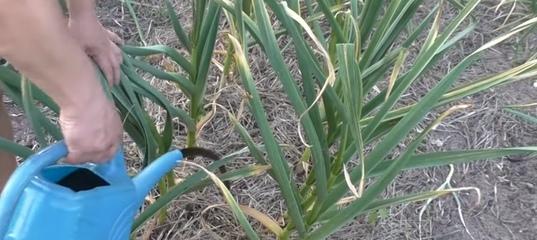 Чем подкармливать чеснок весной и летом для достижения высокой урожайности