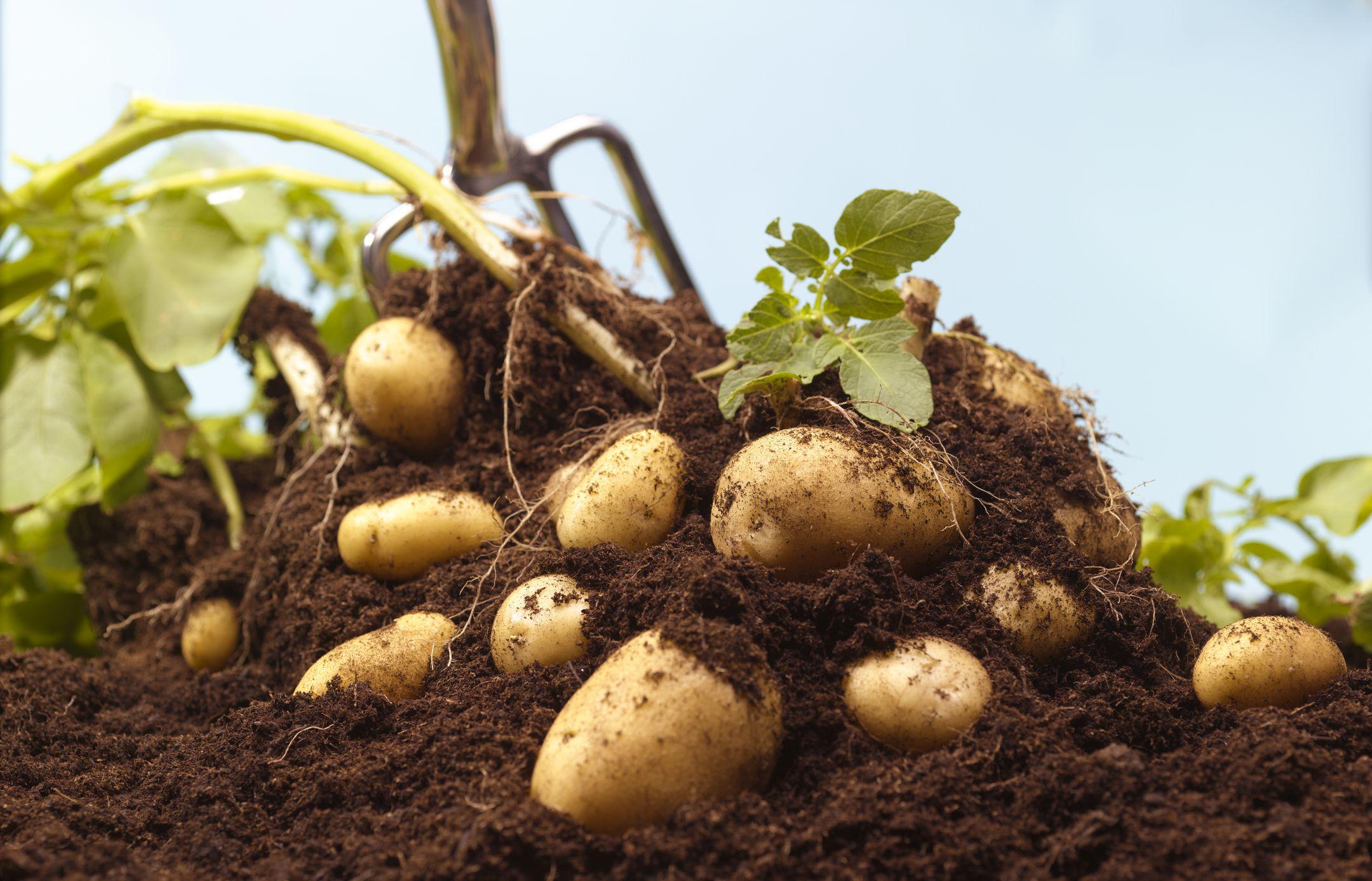 Правильная посадка картофеля: способы, сроки